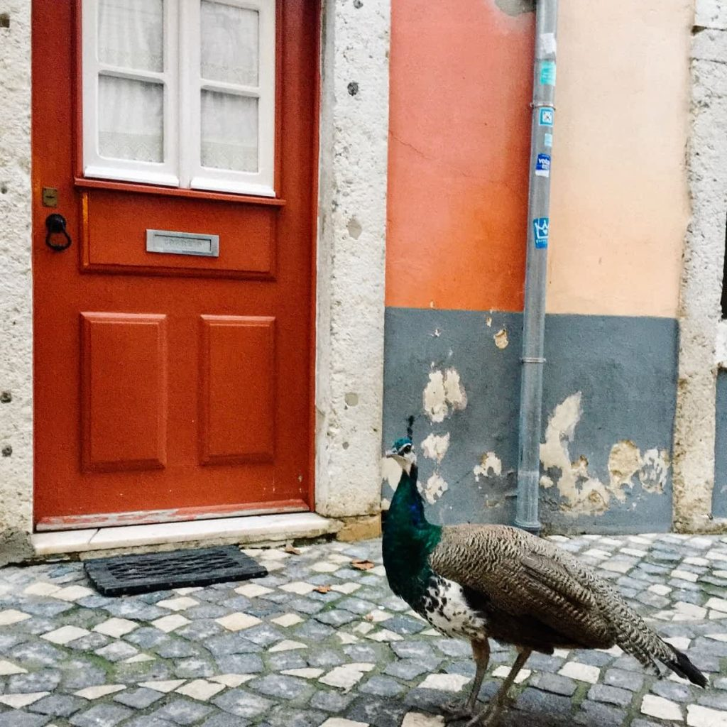 A peacock wandering the streets of Castelo in Lisbon