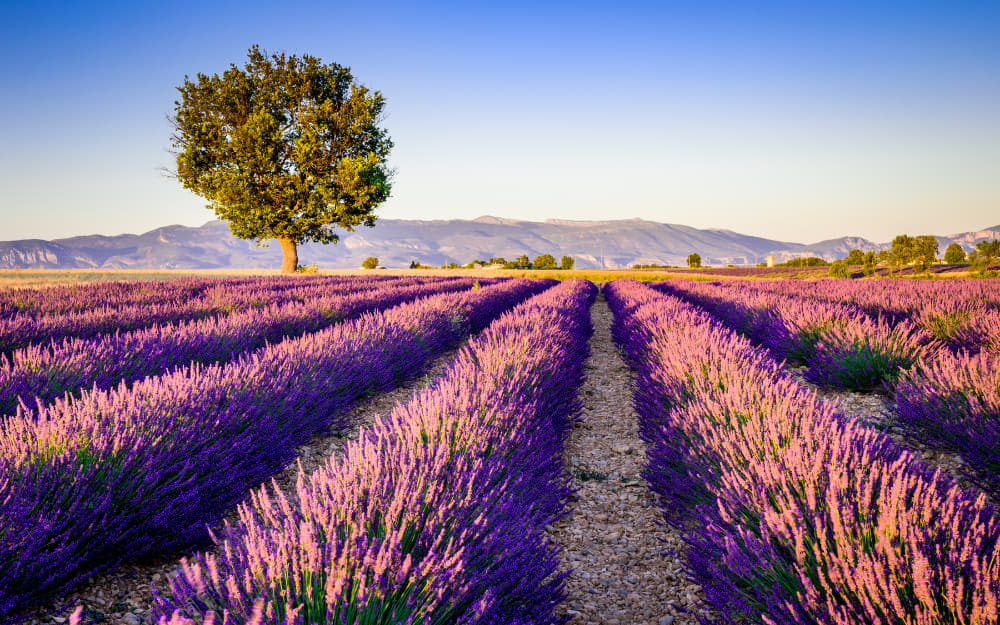 17. Lavender Fields of Provence