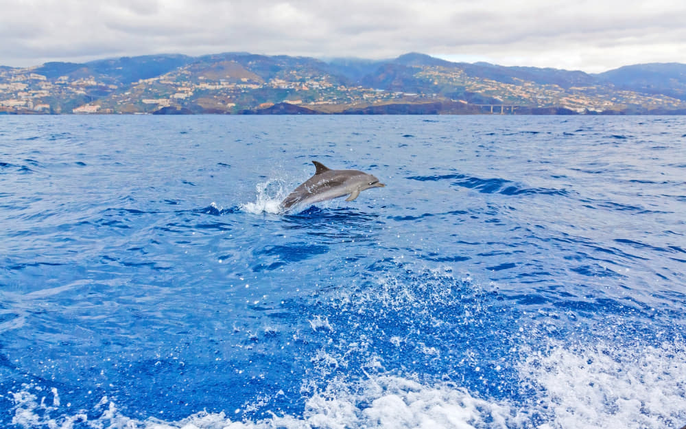 Dolphin Watching in Madeira © Photo by aldorado10 by Getty Images by Canva